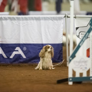 Un-Still Life With Cavaliers:  On Starting Puppies and Sports Metaphors
